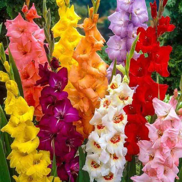 bulbi de gladiole