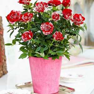 Trandafiri de ghiveci Minirose